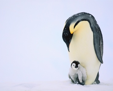 Penguins_367x296