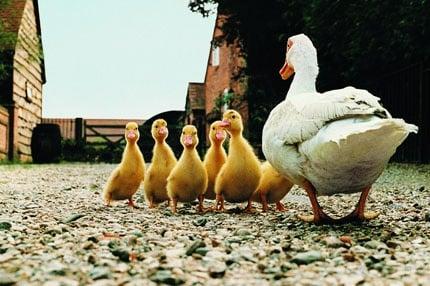 MAIN_251-Ducks